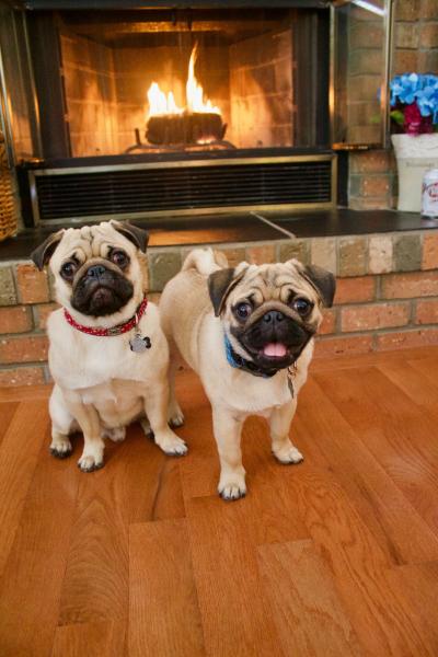 Toasty pugs