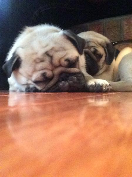 Let sleeping pugs lie