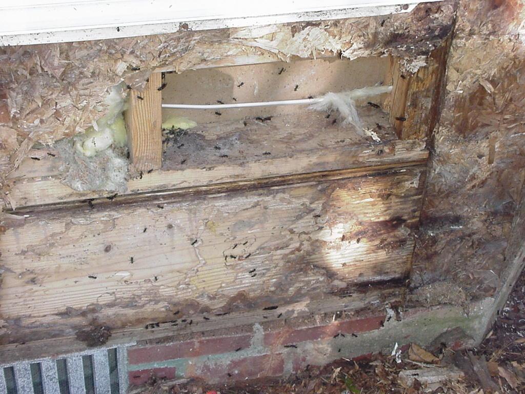 carpenter ants, Savannah, pooler, pembroke, Georgia