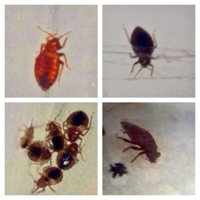 Bed Bugs, Savannah, Georgia