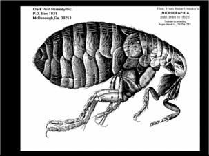 Fleas atlanta,