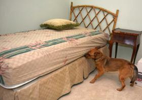 Abby bed bug dog atlanta, bed bug dog savannah, bed bug dog hilton head,