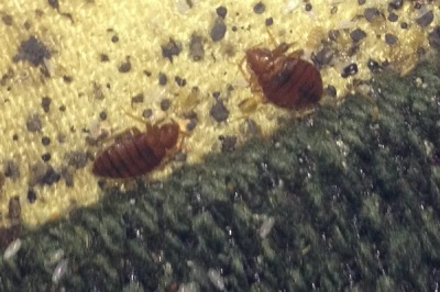 bed bugs couch hilton head