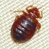 Bed Bug Looking for a Meal in Atlanta !
