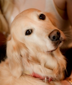 Berry: Resident Golden Retriever