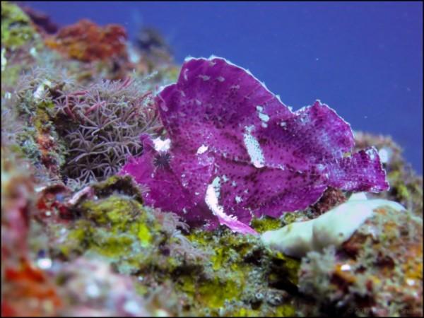 Purple leaf scorpionfish in Tulamben, Bali