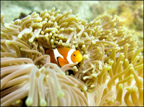 Anemonefish in Amed, Bali