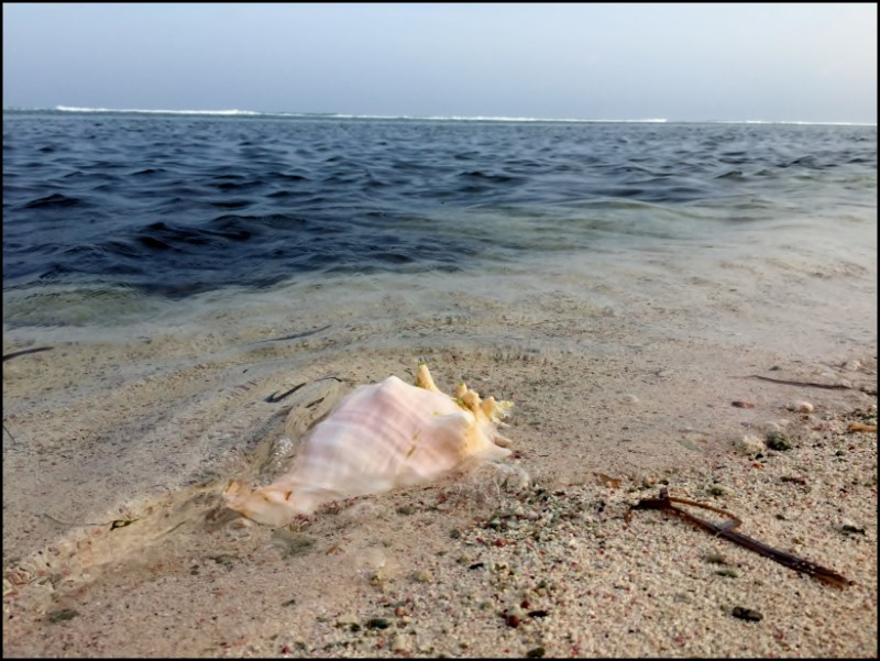 Conch shell on the shore