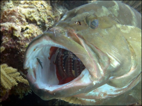 Grouper being cleaned by gobies and shrimp