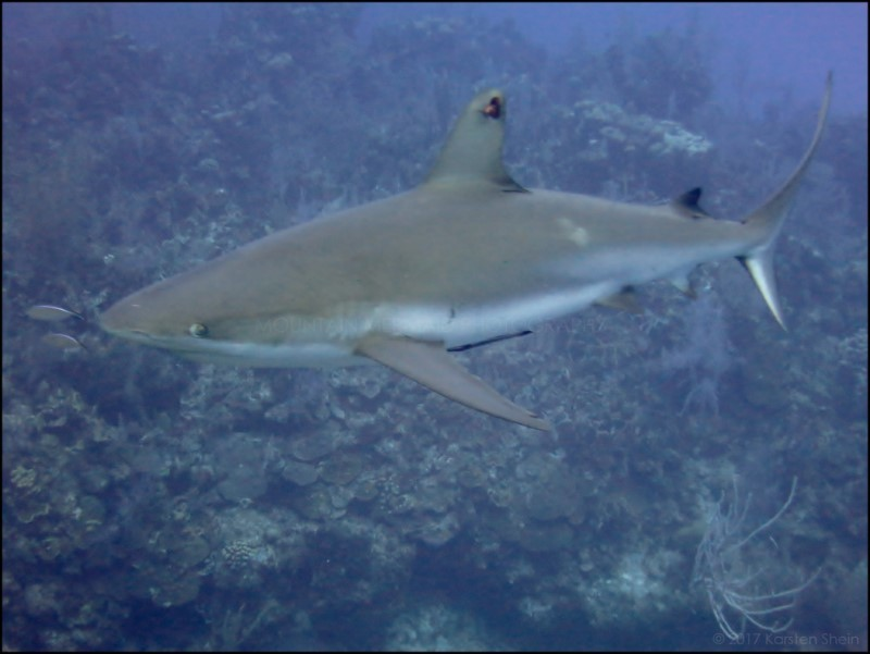 Reef shark on Bloody Bay Wall, Little Cayman