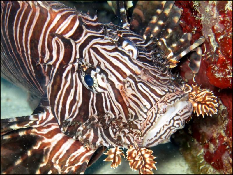 Lionfish at Little Cayman