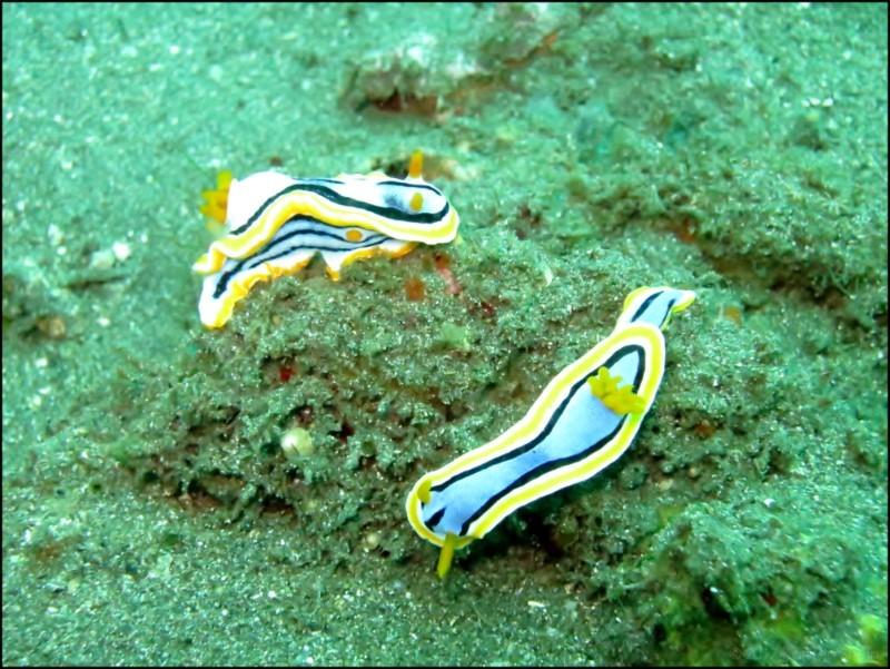 Nudibranchs in Tulamben, Bali