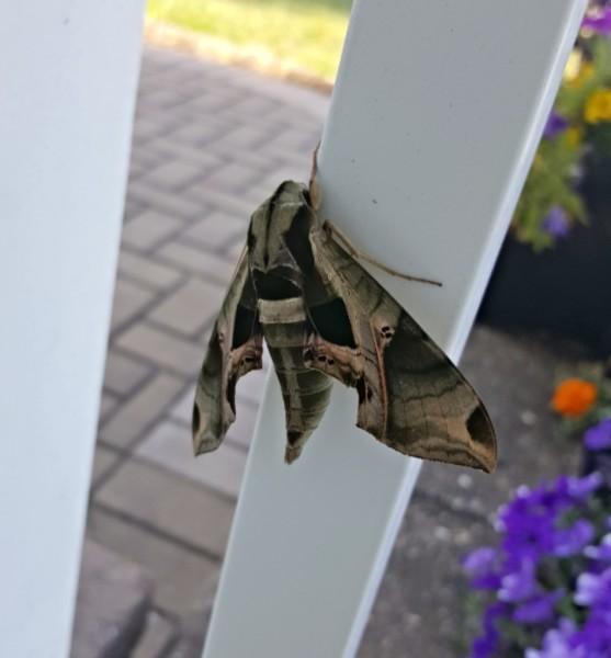 Spinx Moth