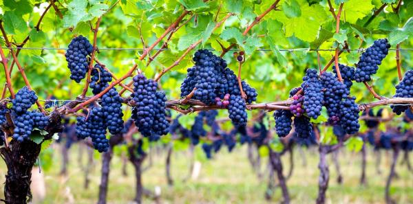 This Girlfriend remembers Geneva's Grape Jamborees