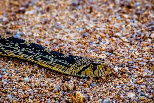 Snake closeup
