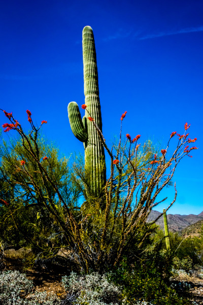 Ocotillo and Saguaro