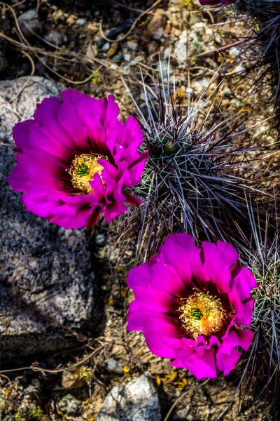 Hedghog cactus blooms