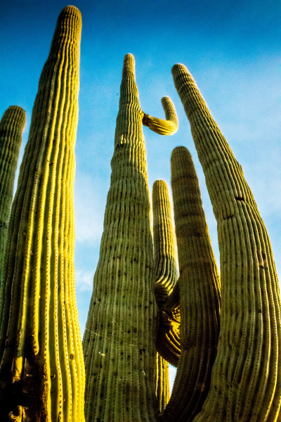 Saguaro reaching for the sky