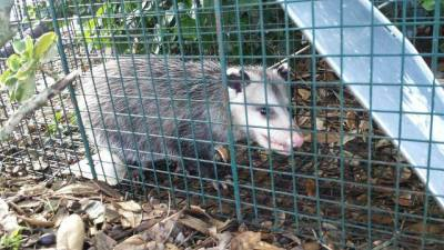 Skunk Control, Raccoon Removal, Opossum  Control,  Snake Removal,  Rat Control,  Wildlife Removal,  Rodent Control,  Raccoon Trapping,  Skunk Trapping,  Opossum Trapping, Wildlife Trapping,  Rat Removal, Skunk Control Service,  Pest Control Service,  Pest Management,  Humane Trapping, Humane Removal, Residential Wildlife Service, Fort Worth, Arlington, Mansfield, Kennadale, Grand Praire, Klondike Critter Service.
