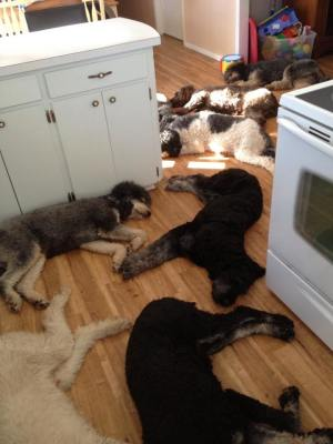 Obstacle course of dogs sleeping on the floor in the kitchen and dining room