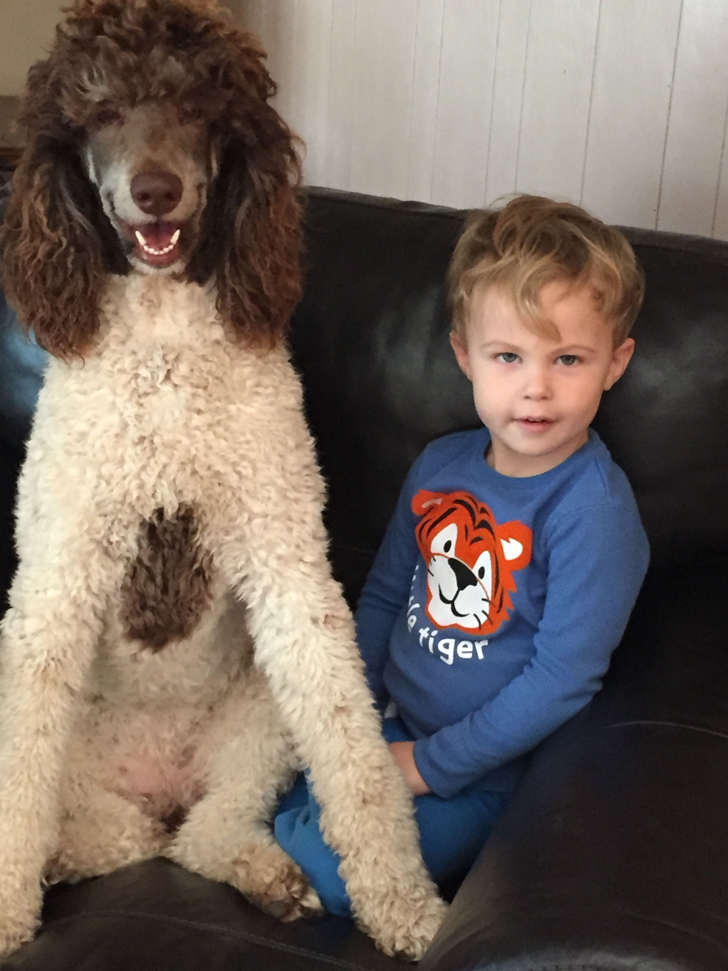 Sammie the poodle sitting on Fisher's lap