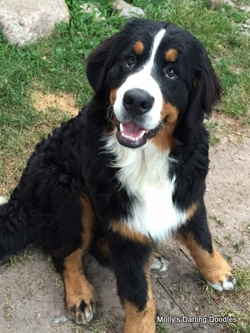 Imported Bernese Mountain Dog from Hungary