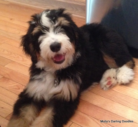 Bernedoodle puppy smiling