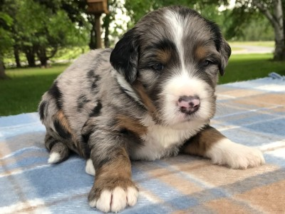 Tri colored merle Bernedoodle puppy born at Molly's Darling Doodles