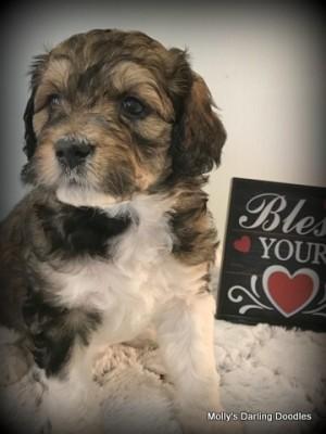Brindle Golden Mountain Doodle puppy