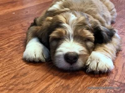 Sleeping merle sable Bernedoodle puppy