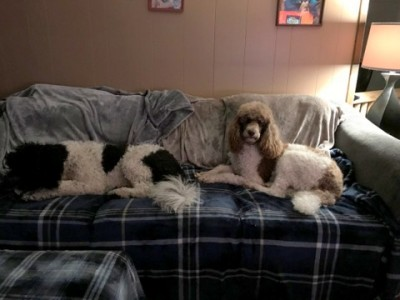 Poodles lazing on couch