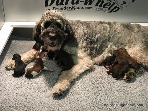 Roos with her newborn Golden Mountain Doodle puppies