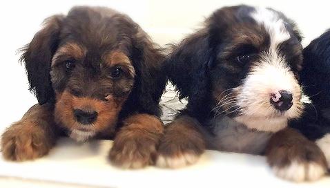 Cute Golden Mountain Doodle puppy faces