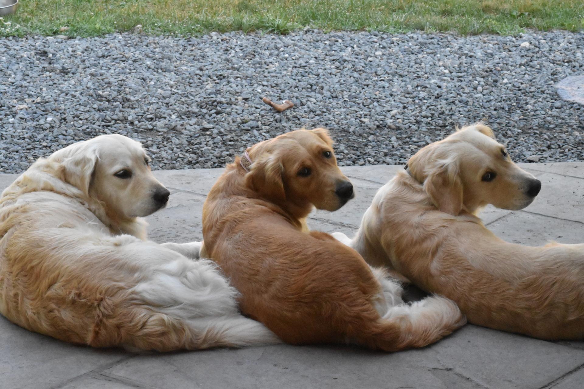 Puppy Raiser