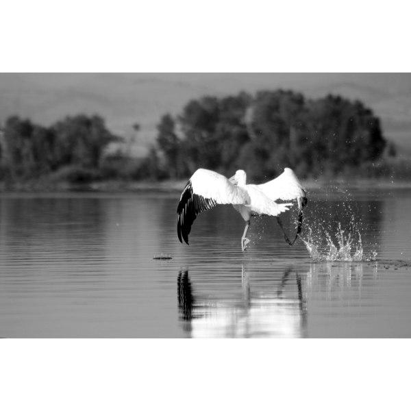 White Pelican. Helena Reservoir. Montana