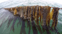 Meet the new US entrepreneurs farming seaweed for food and fuel