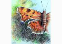 Outdoors - colored pencil drawing of a comma butterfly by Michaela Seidl