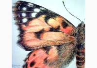 Outdoors - colored pencil drawing of a painted lady butterfly by Michaela Seidl
