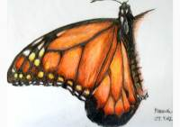 Outdoors - colored pencil drawing of a milkweed butterfly by Michaela Seidl
