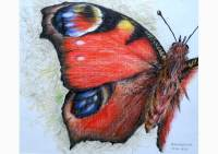 Outdoors - colored pencil drawing of a peacock butterfly by Michaela Seidl