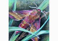 Outdoors - colored pencil drawing of an elephant hawk moth by Michaela Seidl