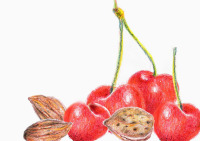 Still life - colored pencil drawing of almonds and cherries by Michaela Seidl