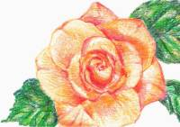 Still life rose - colored pencil drawing by Michaela Seidl