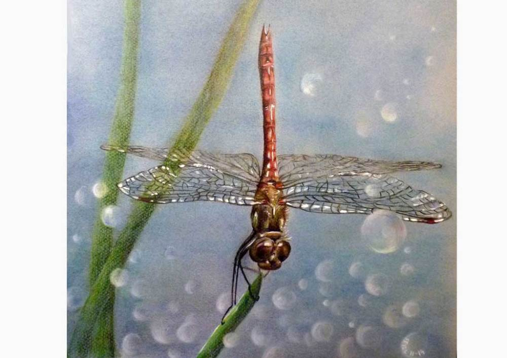 Dragonfly - colored pencil drawing on seidlart.com by Michaela Seidl, photo reference Wolfgang Stocker