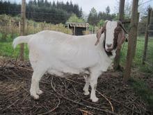 Marley the Boar Goat