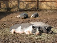The PB Pigs