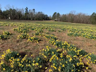 Wye Mountain Daffodil Festival continues this weekend