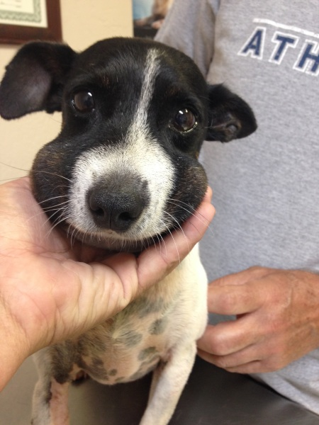 This is a picture of a puppy who came into our clinic with a snake bite on its face.