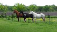 Paint horse, riding, trail riding, lessons, rescue, pony rides, horse boarding, Bonham TX, equine facility, quarter horse, cow ponies, grass pastures, pasture board, happy cows, grass fed beef, wildlife, trails