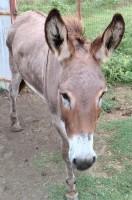 Long ears, sponsor, donkey, rescue, pasture mate, herd monitor, herd guardian